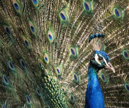 strut: peacock Stock Photo