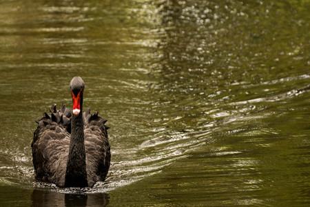 cygnus atratus: black swan Stock Photo