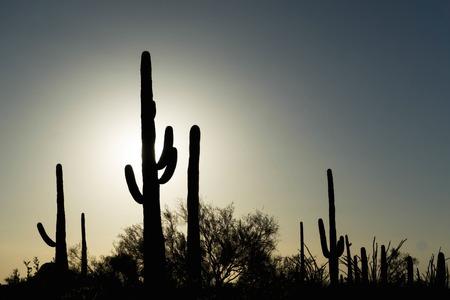 saguaro cactus: the sun sets behind Saguaro cactus Stock Photo