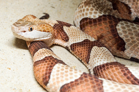 copperhead slang