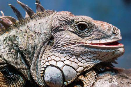 iguana Фото со стока