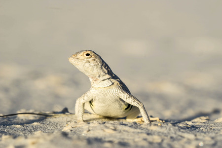 alamogordo: lizard in the desert
