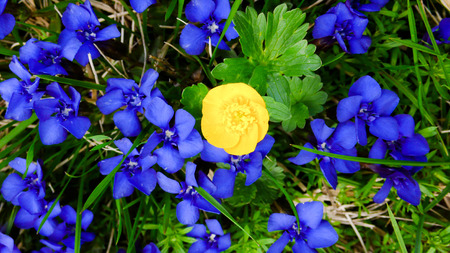 gentian flower: blue and yellow flowers Stock Photo