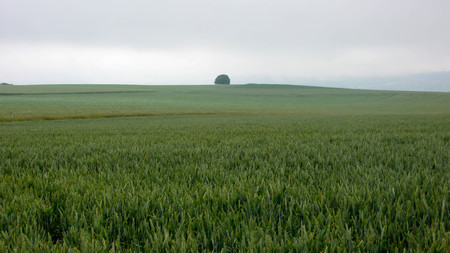 a single tree in the midst of a giant field of green wheat on a cloudy day in summer Stock Photo