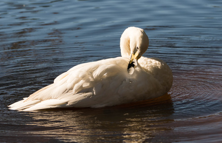 whooper swan cleaning itself