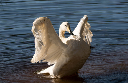 whooper swam spreading its wings Banco de Imagens - 68183571