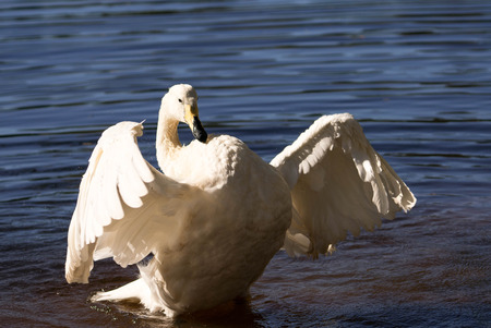 whooper swam spreading its wings Stock Photo
