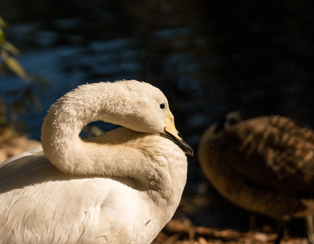 whooper swan up close Banco de Imagens - 68183577