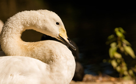 whooper swan up close
