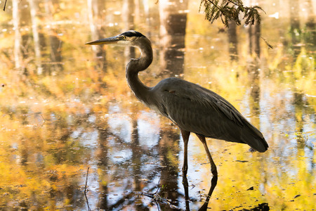 herodias: a great blue heron in a swamp pond with reflections of fall colors