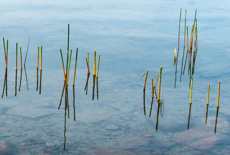 reeds in a pond up close