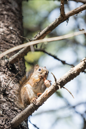 pomme de pin: squirrel eating a pine cone