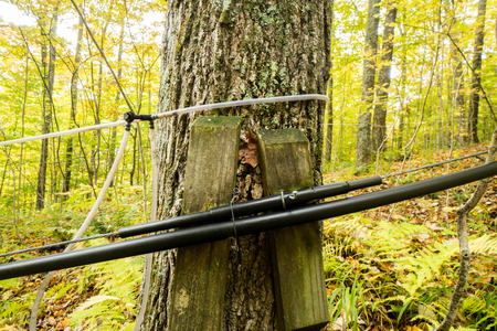 maple syrup: maple syrup lines and taps in the forests of Vermont during fall Stock Photo