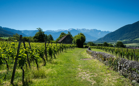 rows of vines in a vineyard in Switzerland with a grassy path and rock wall