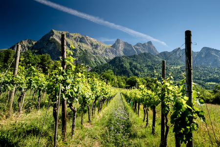 rows of vines in a vineyard with mountains behind in the Swiss Alps