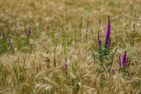 밀밭에 보라색의 꽃 스톡 콘텐츠