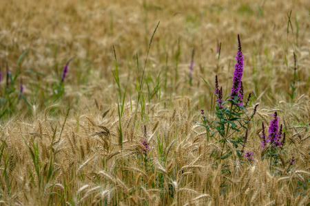 purple flower in wheat field Stok Fotoğraf