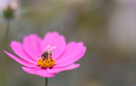 bee drinking nectar from a pink and yellow flower macro