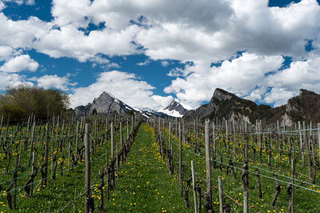 great view of vineyards in the spring under a blue sky with white clouds and snowy peaks behind