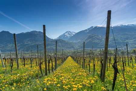 great view of vineyards in the spring under a blue sky with snowy peaks behind