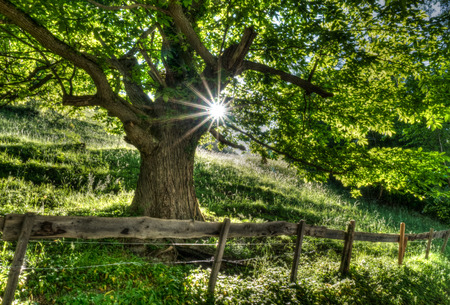 summertime tree in lush green with sunlight shining through and a rusticv fence and road in the foreground Banque d'images - 103314315
