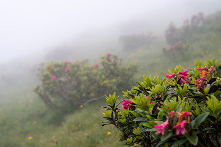 tree rhododendron in a foggy mountain landscape