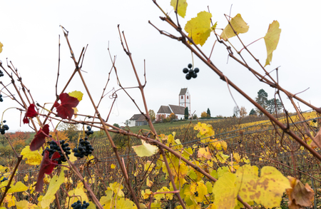 golden grapevines with ripe sweet pinot noir grapes and a white country church in the background