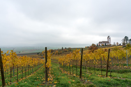 picturesque white country church surrounded by golden vineyard pinot noir grapevine landscape under a cloudy evening sky
