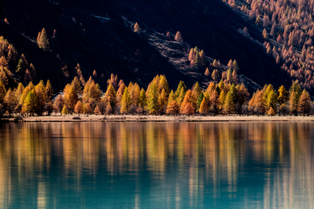 yellow larch trees line the shores of a calm mountain lake with reflections of fall colors Imagens