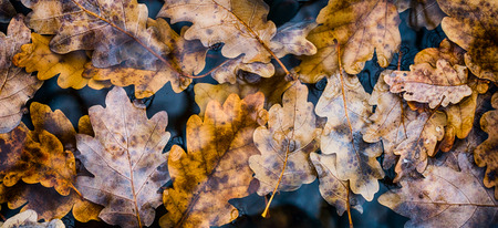 many fallen oak leaves rest in the slightly frozen water of an old wooden trough and fountain