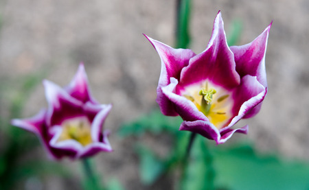 A detail macro view of dreamy two-tone tulips in purple and white with special breed pointed petals in shimmering bright light