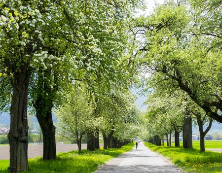 alberi da frutto in fiore lungo una strada di campagna con campi verdi e fiori gialli e ciclisti and Archivio Fotografico
