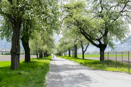 blossoming fruit orchard trees along a country lane with green fields and yellow flowers and cyyclists