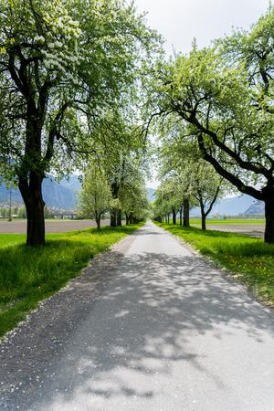 alberi da frutto in fiore lungo una strada di campagna con campi verdi e fiori gialli