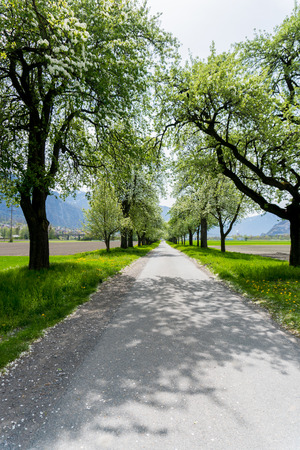 blossoming fruit orchard trees along a country lane with green fields and yellow flowers