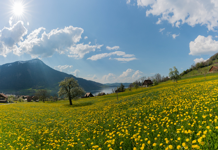 yellow dandelion field and old farmhouse on the shores of the Zugersee lake in the central Swiss Alps near Arth Goldau