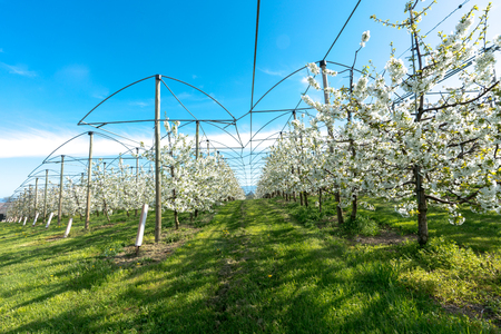 horizontal view of rows of blossoming low-stem apple trees in an orchard with bright white blossoms under a clear blue sky