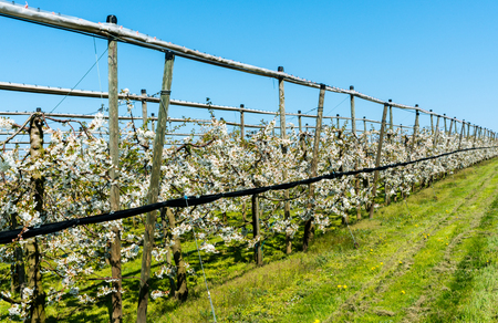 view of rows of blossoming low-stem cherry trees in an orchard with bright white blossoms and a lake behind