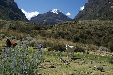 Horizontal view of a mountain landscape with wild horses in the Cordillera Blanca in the Andes of Peru 免版税图像