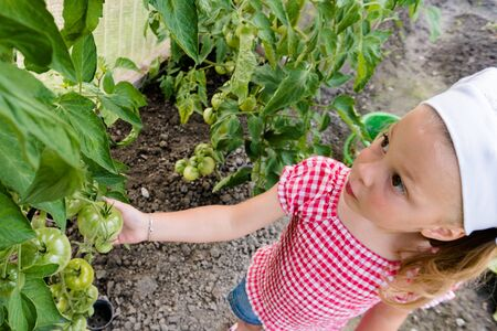 young pre-school girl shows and checks the organic tomatoes growing in her vegetable patch Stock Photo