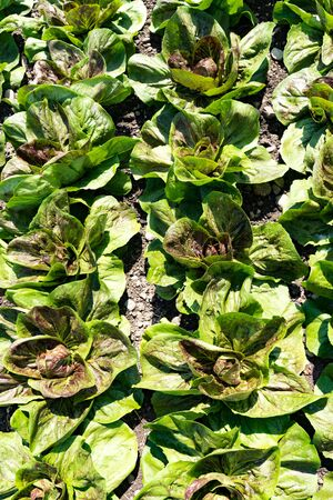 close up of many heads of green lettuce ready for harvesting on a large industrial farm Stockfoto