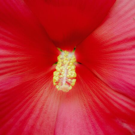 close up macro of a red cinnamon grappa giant hibiscus blossom and stamen