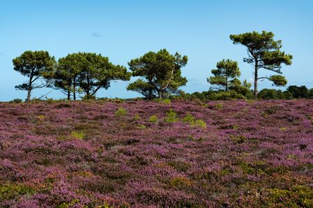 landscape of lilac heath meadows in bloom with dark green trees under a bright blue sky in Brittany