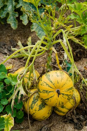 A close up view of large organic pumpkin ripening in a healthy and well-kept vegeetable patch