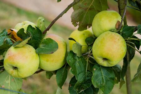 A close up view of organic apples ripening on a fruit tree in an orchard Imagens