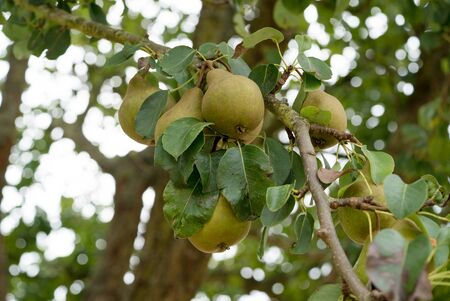 A close up view of organic pears ripening on a fruit tree in an orchard