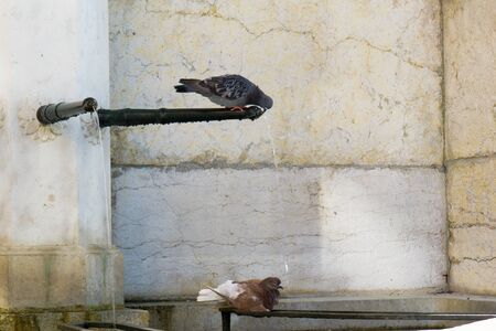A pigeon standing on the spout of a city fountain and drinking water