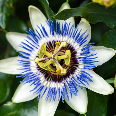 close up view of a passion flower vine and blossom Foto de archivo - 133555417