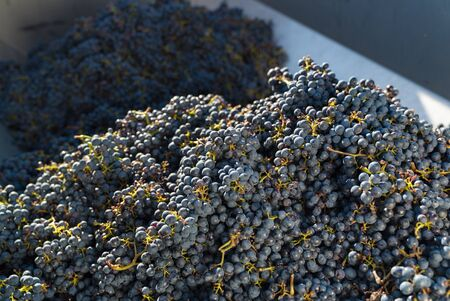 close up view of Cabernet Sauvignon grapes in a transport trailer after the harvest and on their way to the winery