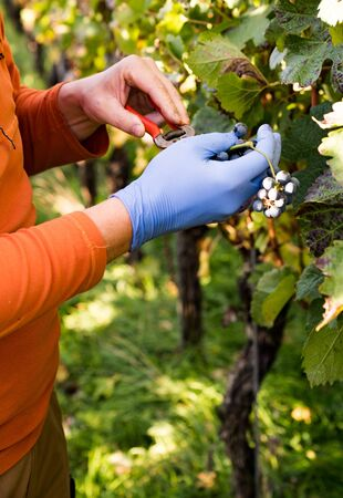 A close up view of a wine farmer in the vineyard harvesting and cleaning Cabernet Sauvignon grapes